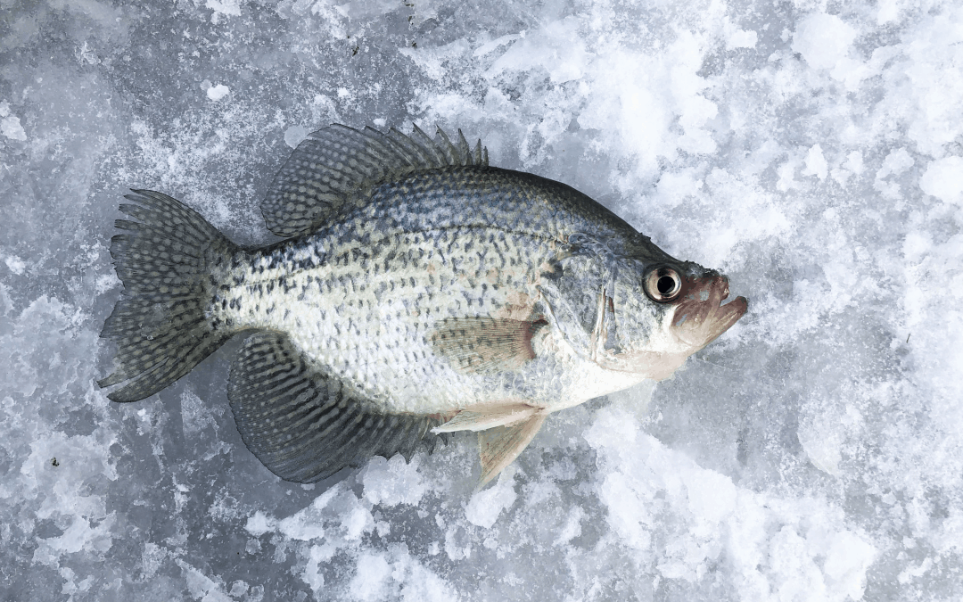 Where to Find Crappie When Ice Fishing