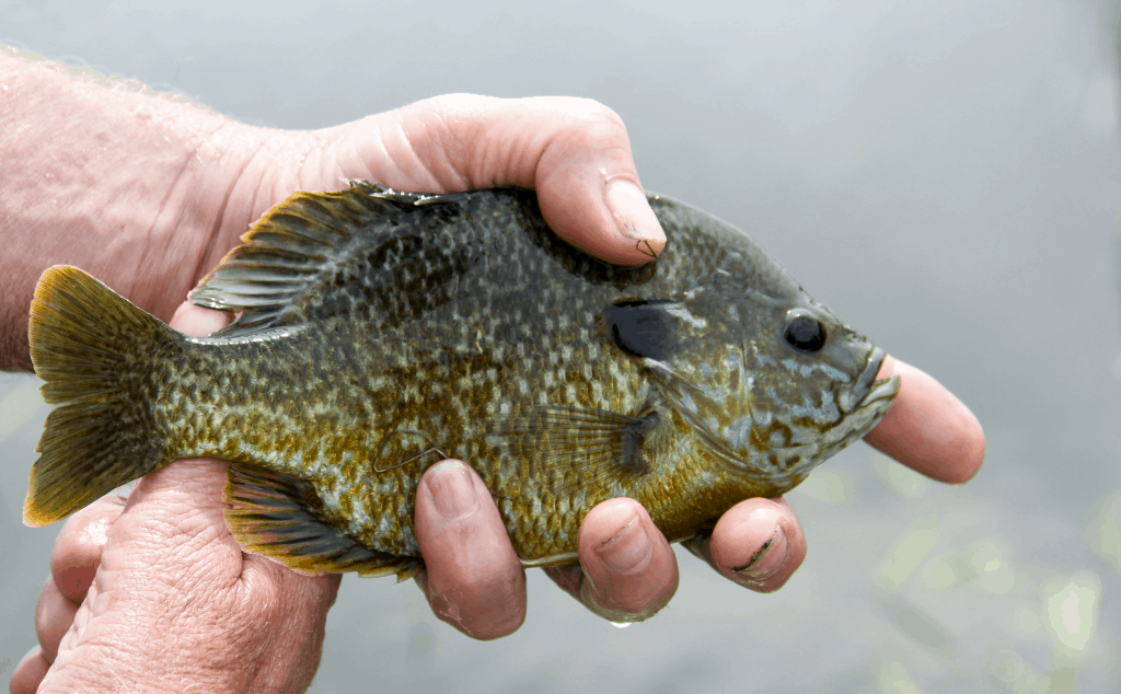 11 Tips for Ice Fishing for Bluegill to Help You Catch More